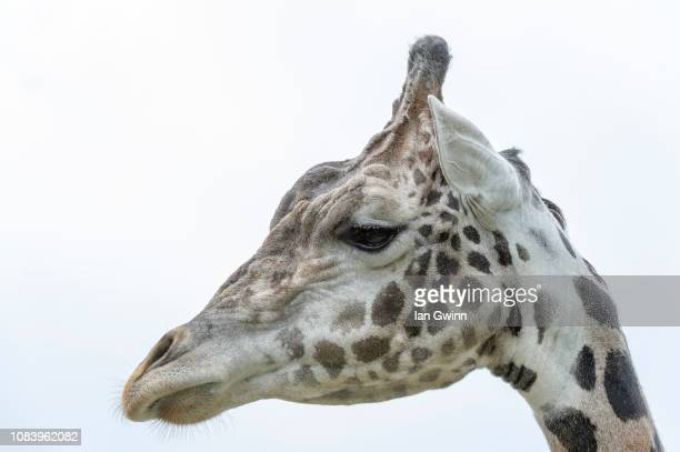 giraffe - ian gwinn stock photos and pictures