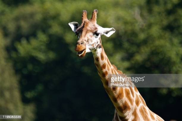 giraffe (giraffa camelopardalis rothschildi) - long neck animals stock pictures, royalty-free photos & images