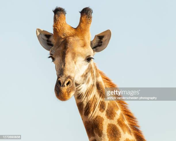 giraffe - mpumalanga province stock pictures, royalty-free photos & images