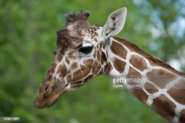 giraffe (giraffa camelopardalis reticulata) - vista lateral stock pictures, royalty-free photos & images