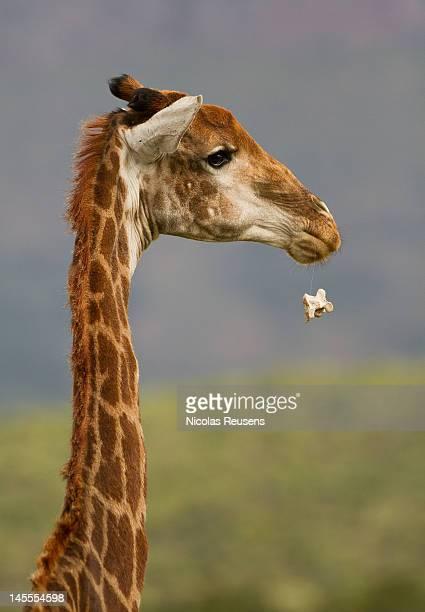 giraffe - vertebras fotografías e imágenes de stock