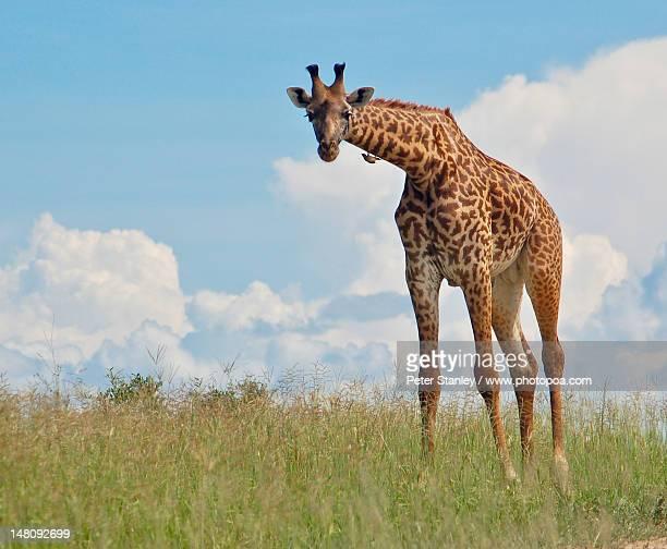 giraffe (giraffa camelopardalis tippelskirchi) - tarangire national park stock pictures, royalty-free photos & images