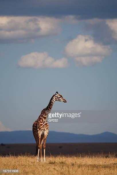 giraffe - safari animals stock photos and pictures