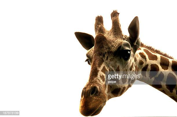 giraffe - safari animals stock pictures, royalty-free photos & images
