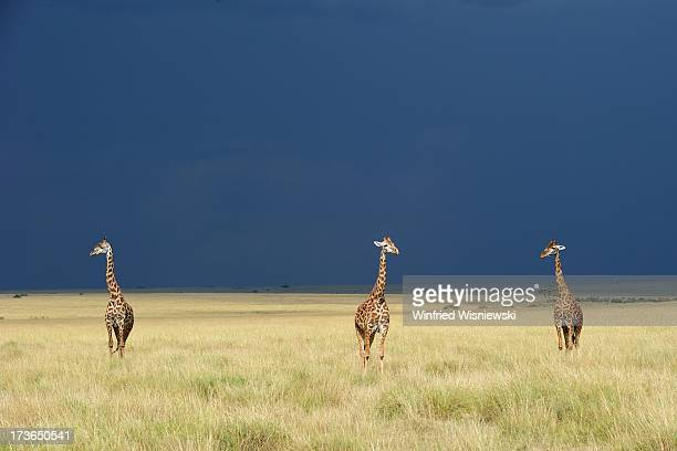 giraffe - gras stock pictures, royalty-free photos & images