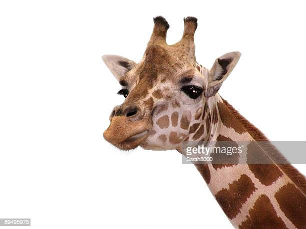 giraffe - white giraffe stock pictures, royalty-free photos & images