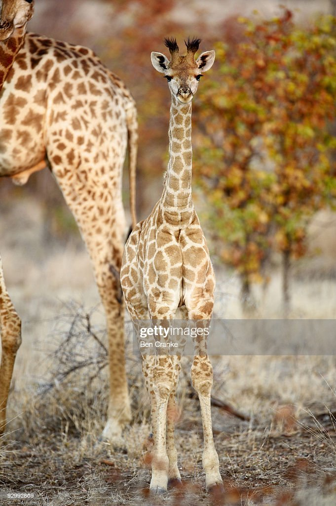 Giraffe (Giraffa camelopardalis)  : Foto de stock