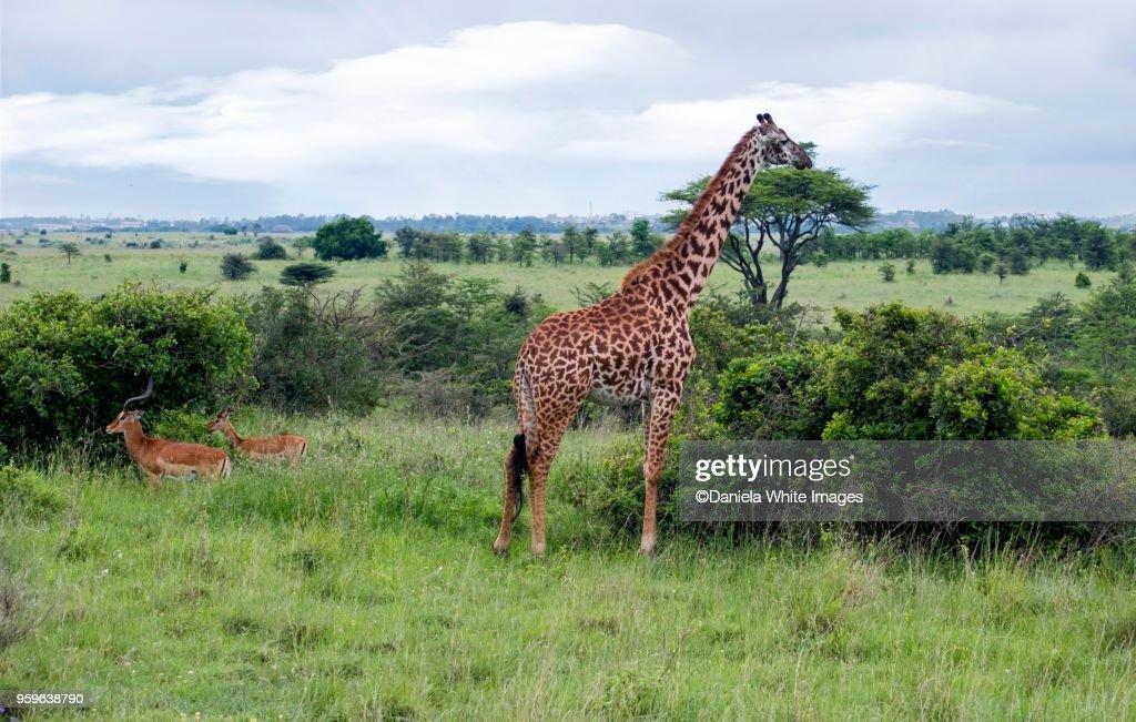 Giraffe : Stock-Foto