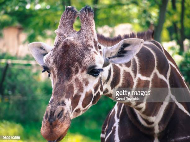 giraffe - big bums stock pictures, royalty-free photos & images