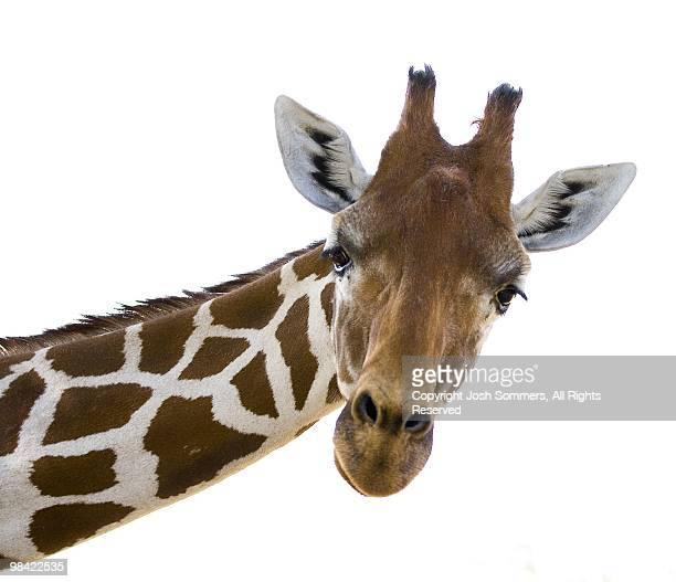 giraffe - girafe photos et images de collection