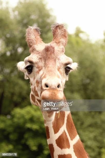 giraffe - leah wilde stock-fotos und bilder