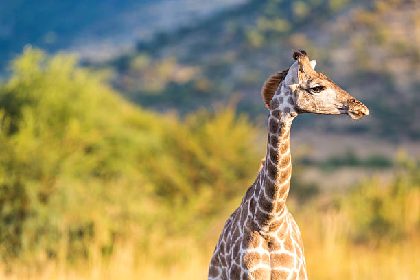 Giraffe, Pilanesburg National Park, Johannesburg