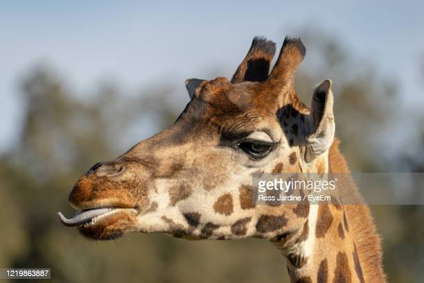 giraffe portrait - batemans bay stock pictures, royalty-free photos & images