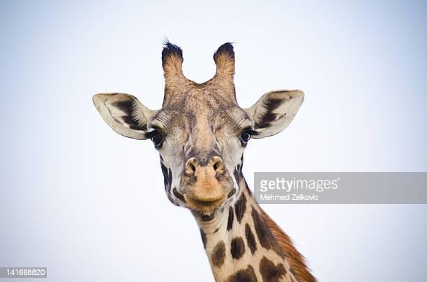 giraffe portrait - girafe photos et images de collection