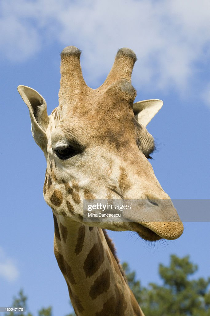 Giraffe Portrait : Stock Photo