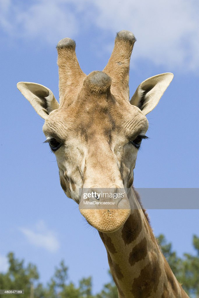 Giraffe Portrait : Stock Photo
