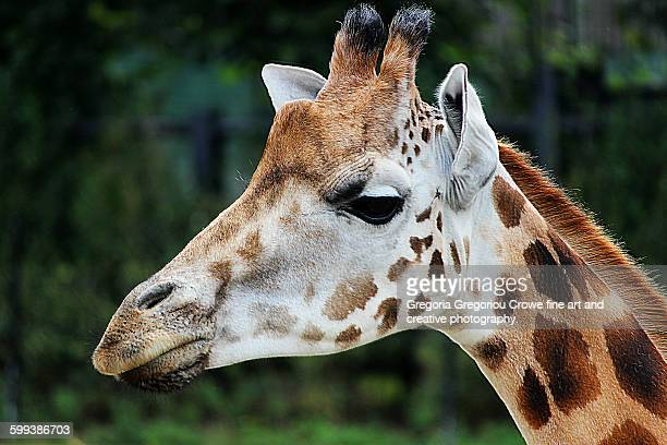 giraffe portrait - gregoria gregoriou crowe fine art and creative photography. stockfoto's en -beelden