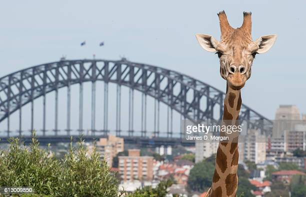 A giraffe poses for a photo with the backdrop of the Sydney Harbour Bridge during birthday celebrations at Taronga Zoo on October 7 2016 in Sydney...