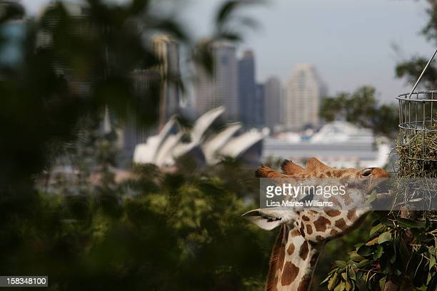A giraffe receives a Christmas treat at Taronga Zoo on December 14 2012 in Sydney Australia Taronga Zoo celebrated Christmas early giving...