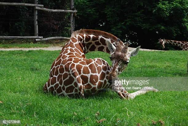 Giraffe resting on grass