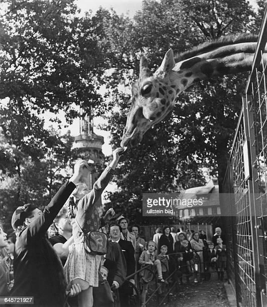 Giraffe Rieke im Berliner Zoo- 1954