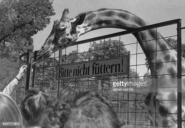 Giraffe Rieke im Berliner Zoo