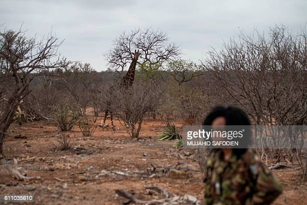 A giraffe roams as a female member of the antipoaching team Black Mamba goes on routine patrol through a wildlife reserve on September 25 2016 in the...