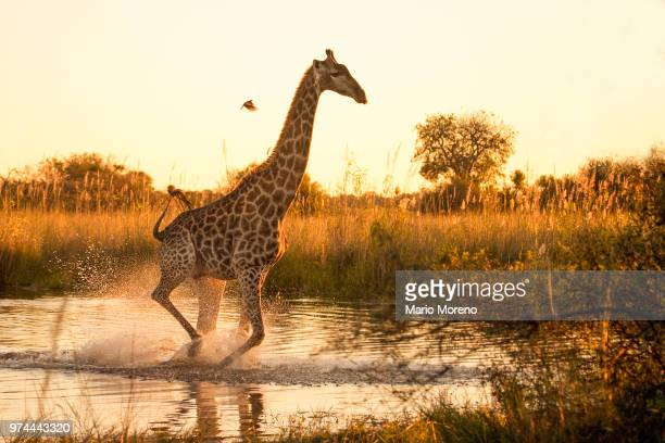 giraffe running through marshland. - botswana stock pictures, royalty-free photos & images