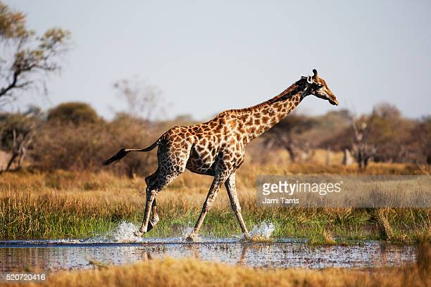 a giraffe running through the water - okavango delta stock pictures, royalty-free photos & images