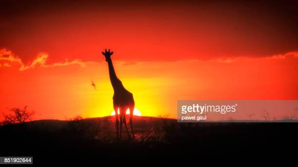 Giraffe Safari Africa