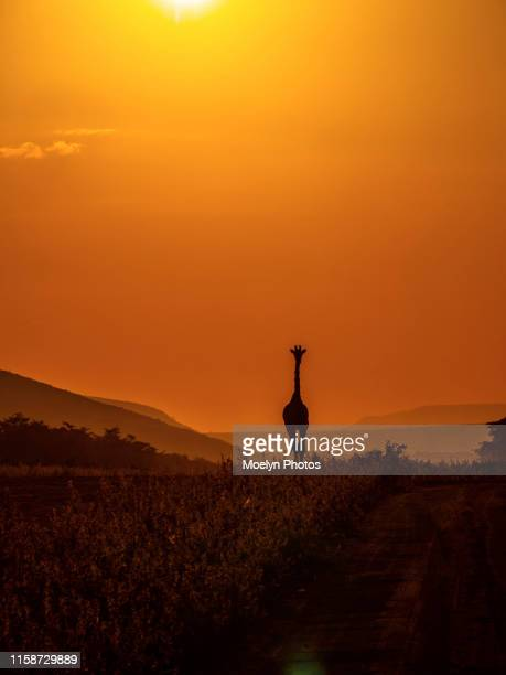 giraffe silhouette at sundown - limpopo province stock pictures, royalty-free photos & images