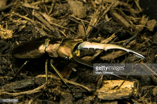 giraffe stag beetle - beetles with pincers stock pictures, royalty-free photos & images