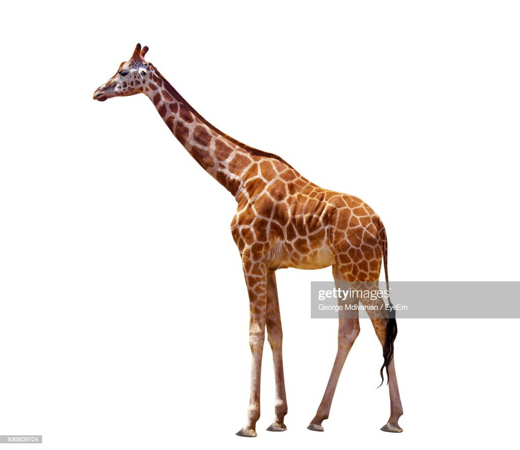 Giraffe Standing Against White Background : Stock Photo