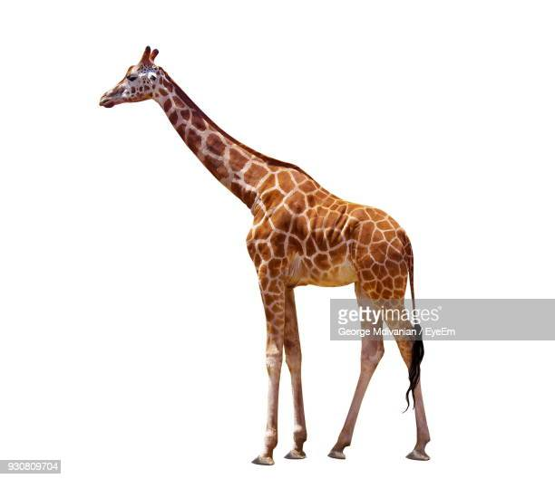 Giraffe Standing Against White Background