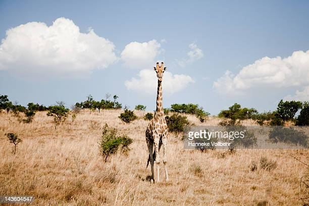 Giraffe standing in safari field