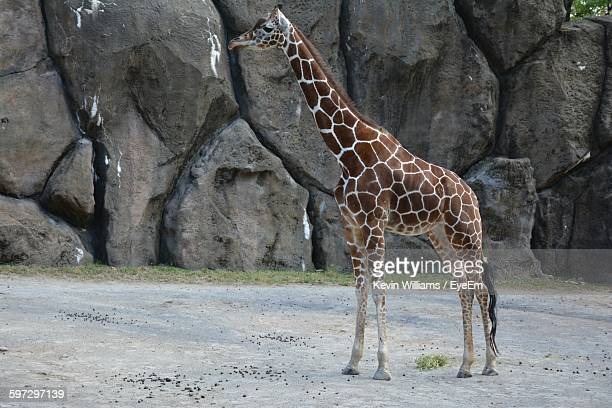 Giraffe Standing On Field At Zoo