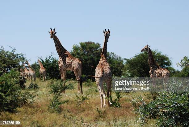 giraffe standing on grass against clear sky - mcconnell stock pictures, royalty-free photos & images