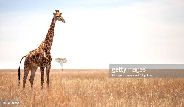 Giraffe Standing On Grassy Field Against Sky
