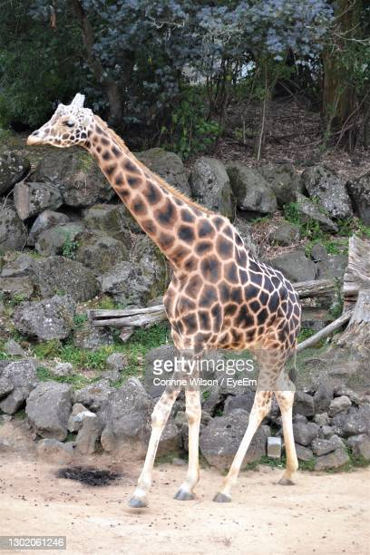giraffe standing - hamilton new zealand stock pictures, royalty-free photos & images