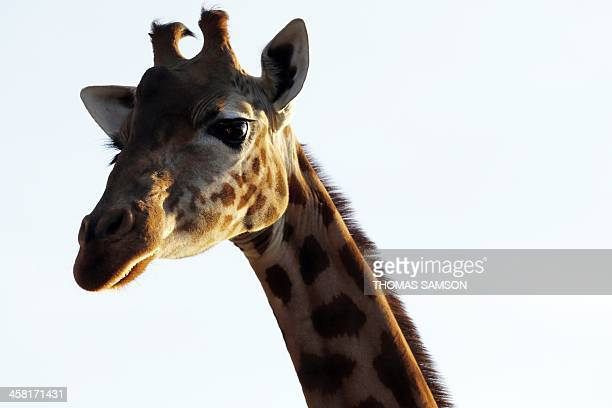 A giraffe stands in its enclosure at the Zoological Park of Paris also known as the Zoo of Vincennes in Paris on December 20 2013 The zoo which has...