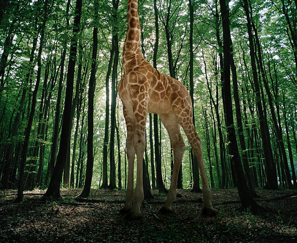 Giraffe stands in the woods
