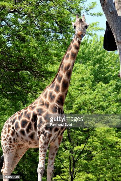 Giraffe stands tall and looks amused at Lincoln Park Zoo in Chicago Illinois on MAY 29 2013