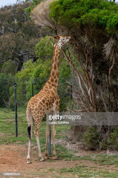 Giraffe stands tall in Werribee Open Range Zoo on December 29, 2017 near Melbourne, Victoria, Australia.