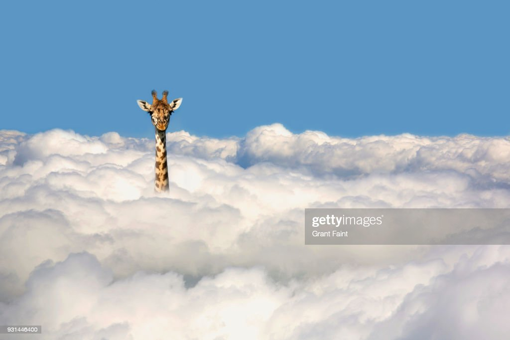 Giraffe sticking his head out of clouds. : Stockfoto