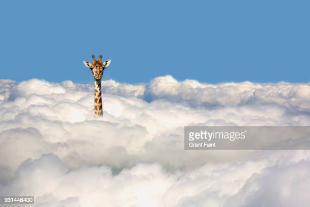 giraffe sticking his head out of clouds. - funny animals stock pictures, royalty-free photos & images