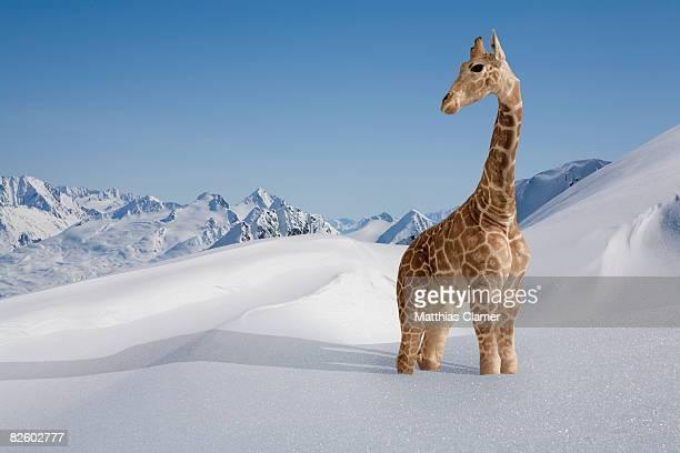 giraffe stuck in the snow - girafe photos et images de collection