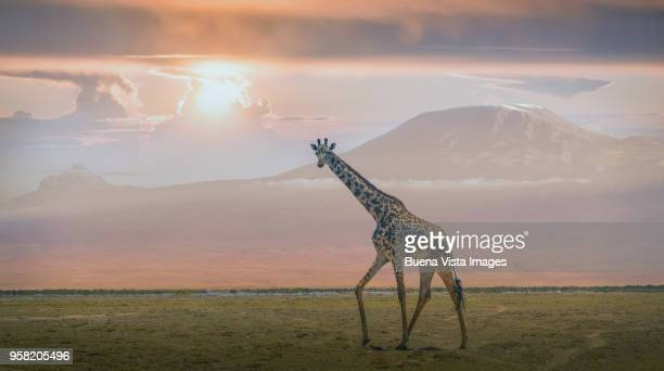 giraffe under mount kilimanjaro - mt kilimanjaro stock photos and pictures