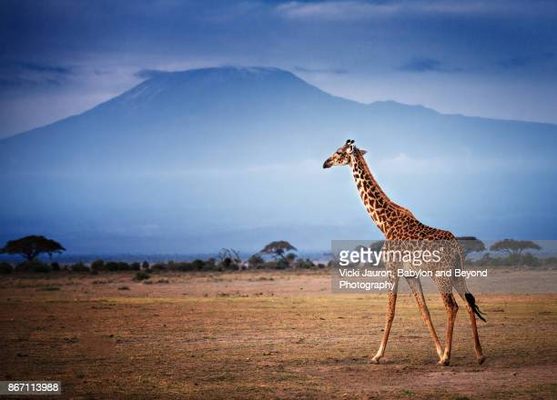 giraffe walking in front of mount kilimanjaro in amboseli - paisaje espectacular fotografías e imágenes de stock