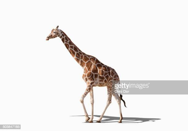 Giraffe walking in studio