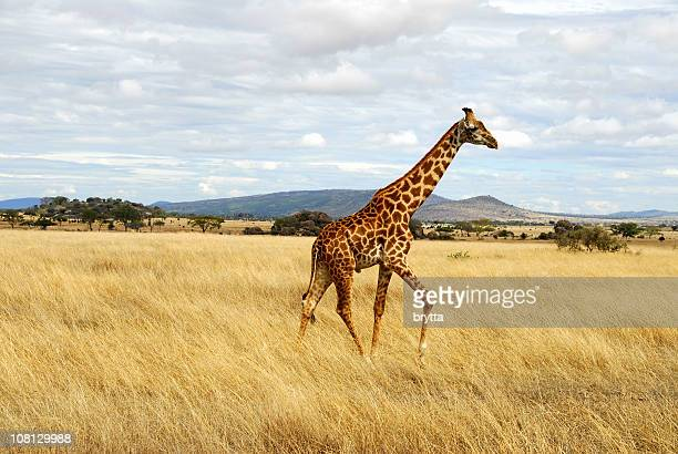 Giraffe Walking Through African Serengeti, Tanzania